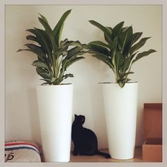 King Arthur checking out the new 'indoor forest' lol he looks tiny even though he's a huge cat! #kingarthur #catstagram #cat #catsofinstagram #pet #housepanther #blackcat #kitteh #interior #design