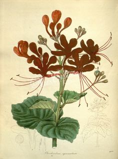 flowers-28793 Scaly Clerodendron, clerodendron squamatum botanical floral botany natural naturalist nature flowers flower beautiful nice flora plants blooming ArtsCult.com Artscult ArtsCult vintage printable public domain 300 dpi commercial use 1800s 1700s 1900s Victorian Edwardian art clipart royalty free digital download picture collection pack paintings scan high qulity illustration old books pages supplies collage wall decoratio