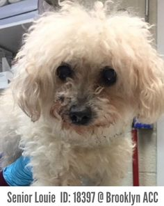 1.16.18 Meet Senior Louis(age 13) ID: 18397 @ Brooklyn Animal Care Center Louie's Details Type Dog Breed Small Mixed Breed Cross Second ... - Taylor Easton (Please Make Adoption Your Only Option) - Google+