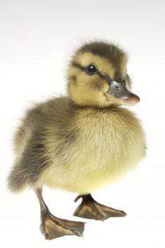Google Image Result for http://4.bp.blogspot.com/-S2g-QJzyzFI/TbeUEMrcKlI/AAAAAAAAARk/mYGoz-gacIY/s1600/baby_ducks.jpg