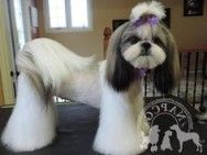 Shih Tzu Frisuren New 82 Best Shih Tzu Grooming Hairstyles Images In 2019 - Frisuren Shih Tzu, Ideal Image, Hair Images, Picture Collection, Photo Galleries, The Incredibles, Hairstyles, Beautiful, Shoulder Length Hair