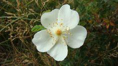 Flora van Nederland: Duinroos - Rosa pimpinellifolia