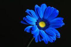 Image result for gerbera flower pic