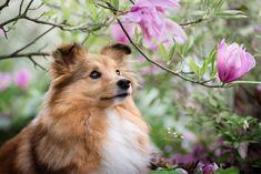 Mini Collie, Shetland Sheepdog, Sheltie, Dog Days, Corgi, Cottage, Photography, Animals, Instagram