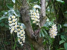 Dendrobium Orchids, St Thomas, Virgin Islands, Tropical Plants, Botanical Gardens, Signage, Attraction, Maps, Google