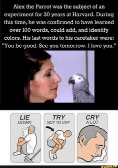 """Alex the african grey. He has been Irene Pepperberg's companion for 33 years. His last words were """"You be good. See you tomorrow. I love you"""""""