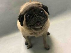 SUPER URGENT 12/27/16 Brooklyn Center LILA – A1100536 FEMALE, TAN / BLACK, PUG MIX, 10 yrs STRAY – ONHOLDHERE, HOLD FOR ID Reason OWNER SICK Intake condition GERIATRIC Intake Date 12/26/2016, From NY 11204, DueOut Date 12/29/2016, I came in with Group/Litter #K16-085114.
