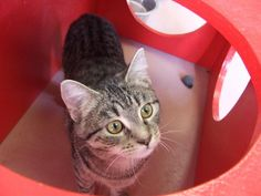Meet Mr. Wiskers, an adoptable Domestic Short Hair Cat | Columbia, SC | Animals are adopted on a first come basis and cannot be held back from a potential home, so please...