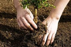 Trees are key players in permaculture design, as they exemplify a closed loop system. Learn how to plant trees in your backyard or garden! Fruit Trees, Trees To Plant, Tree Planting, Planting Flowers, White Oak Tree, Arbor Day Foundation, Lawn Care Tips, Fast Growing Trees, Alternative Wedding Rings