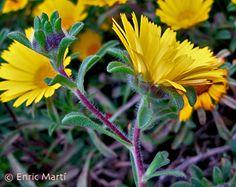 Flores Silvestres del Mediterráneo: Asteraceae: Asteriscus maritimus
