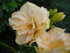 Details zu °2x Hemerocallis *Land of cotton* Taglilie, creme-weiß, Bio Garten!°