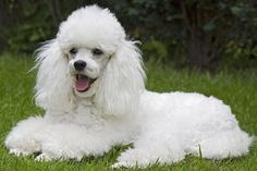Poodle | Toy Poodles are both elegant and athletic, moving with a light ...