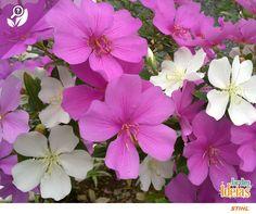 Com um perfume forte e inconfundível, o manacá representa as mulheres em todas as suas fases. A árvore dessa espécie pode atingir até três metros de altura e produz flores em diferentes tons. O significado dessa lindeza é generosidade e amor incondicional. <3