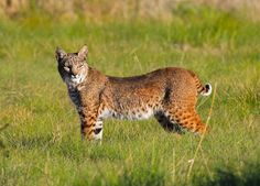 bobcat-on-the-ks-ranch