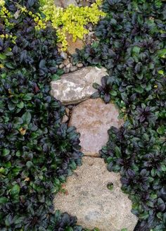 """Pick : Ajuga reptans: Living Mulch Playing Favorites: Ajuga reptans """"Bronze Beauty"""" - The Hypertufa Gardener Forest Garden, Woodland Garden, Lawn And Garden, Outdoor Plants, Outdoor Gardens, Ground Cover Shade, Purple Flower Ground Cover, Shade Garden Plants, Home Landscaping"""