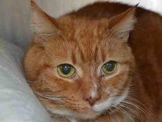 armani - A1035284  ***TO BE DESTROYED 5/12/15***  Further instructions, and a list of rescues can be found here:http://information.urgentpodr.org/  For more information, email the shelter at adoption@nycacc.org, but ONLY if you are serious about adopting and ONLY if you are able to GO TO the shelter in-person.   To rescue a death row cat, please read this: : http://information.urgentpodr.org/adoption-info-and-list-of-rescues/  To Contact the NYC ACC, call (212) 788-4000 for automated…