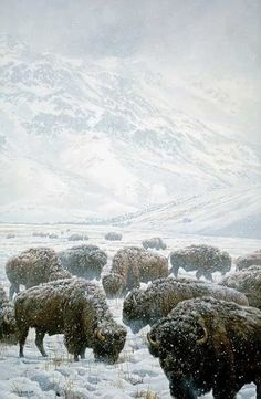 Winter Grazing Bison | The Ultimate Photos