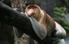 The most distinctive trait of the proboscis monkey is the male's large protruding nose.