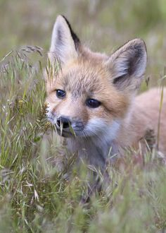 I saw a baby fox just like this one on my driveway this summer. Not sure where Mama Fox was. Cute Creatures, Beautiful Creatures, Animals Beautiful, Cute Baby Animals, Animals And Pets, Funny Animals, Strange Animals, Fantastic Fox, Cute Fox