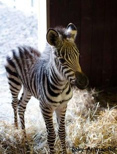 """Zebra """"Little One"""". A baby Zebra is called: Colt = Male, Foal = Female, Just like the offspring of a horse. Baby Animals Pictures, Cute Animal Pictures, Animals And Pets, Funny Animals, Wild Animals, Funny Pictures, Zebras, Cute Little Animals, Adorable Animals"""