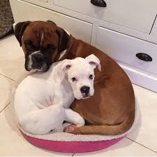 Image result for Boxer
