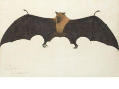 Lot 292 A painting from the Impey Album, by the artist Bhawani Das: a Great Indian Fruit Bat, or Flying Fox (Pteropus giganteus) Calcutta, circa Indian Roller, Fruit Bat, East India Company, Watercolor Pictures, Indian Artist, Metropolitan Museum, Natural History, The Guardian, Art For Sale