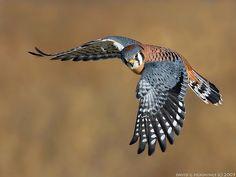 American Kestrel (Falco Sparverius), by David G. Love Birds, Beautiful Birds, Animals Beautiful, American Kestrel, Mundo Animal, Colorful Birds, Birds Of Prey, Raptors, Bird Watching
