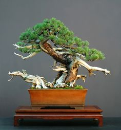 bonsai art #bonsai