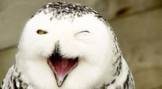 201 Smiling Animals That Will Instantly Make You Smile These 31 super happy animals will leave you smiling after you have seen them. We might not be able to understand animals, but we can all recognise a smile as a Smiling Animals, Laughing Animals, Happy Animals, Funny Animals, Cute Animals, Funny Owls, Funniest Animals, Beautiful Owl, Animals Beautiful