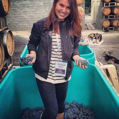 Washington State Wine Harvest | 2013 | Grapes