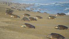 Conmemoran el Día Internacional de la Tortuga Marina