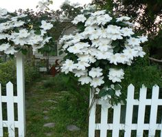 A beautiful white climatis covers my garden gate!