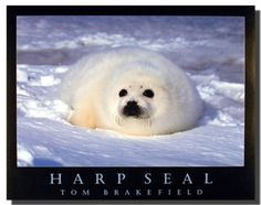 Your love for animals can now be seen on the walls of your house with this cute harp seal in snow wild animal art print poster. This stunning poster is definitely a classy addition in your room decor. This wall poster is uniquely created with technique that ensures the better quality product with perfect color accuracy which offers long-lasting beauty to your home.