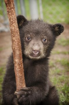 Orphaned black bear cub Whiskey, and his brother Koda, are being cared for at Great Basin Wildlife Rescue in Springville, Utah.