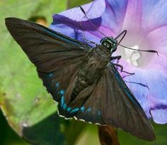 Submit your butterfly sightings here.  They will also help you determine the species of butterfly, cool website for identifications too  Image Gallery | Butterflies and Moths of North America