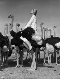 "Wenda and Ostriches, South Africa 1951 by Norman Parkinson. ""On location in Africa Mrs Parkinson was posed on the back of an ostrich which turned out to move at an incredible speed. As she disappeared into the distance clinging on for dear life, her husband, intent on his view-finder, was heard to cry after her, ""More profile, Wenda! More profile!""'"