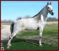 FOR SALE - LILLY'S EXPRESS #20502294 -  Lilly is a gorgeous, 9 yr old, 15.3 hand grey Tennessee Walking Horse mare by Silver Express and out of a Generator/Carbon Copy-bred mare. She has been shown in Tennessee and Mississippi and could either go back in the show ring or go down the trail. Sensible and easy to work with. Foaled 05/18/2005. Located in Texas. Call 214-728-1064. Priced at $7,000. Overseas transport can be arranged.  http://www.walkerswest.com/Stalls/LillysExpress.htm ...