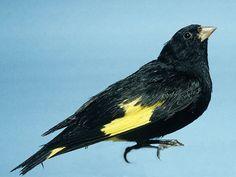 BlackSiskin (Spinus atratus) by Gomez-Prieto