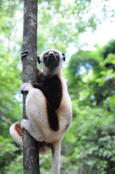 Lémur, Experiencia Madagascar