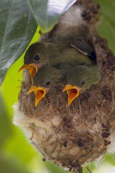 The Scarlet-backed Flowerpecker Chicks