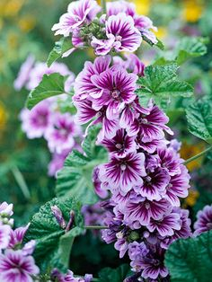 Tree Mallow for pretty summer blooms