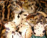Raise Coturnix Quail For Eggs and Meat ~ The Micro Farm Project