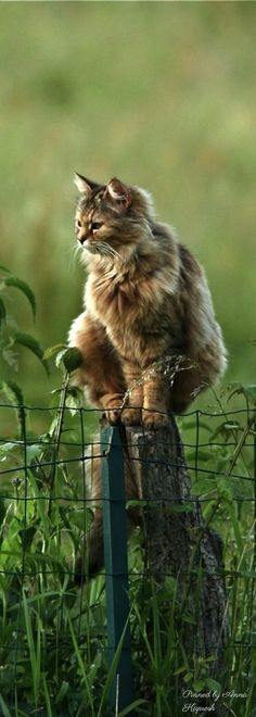 Norwegian Forest Cat on Post