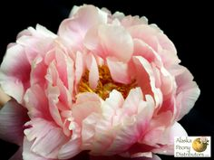 A four day old coral sunset peony.  You can see you this bloom earns its name as colors start to fade form the edges of the petals.