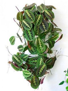 Maranta Red Prayer Plant - House Plants - ideas of House Plants - Maranta leuconeura erythroneura. Plantas Indoor, Decoration Plante, Plants Are Friends, Hanging Plants, Hanging Baskets, Diy Hanging, Outdoor Plants, Porch Plants, Green Plants