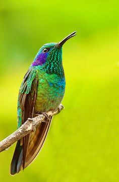 """The Green Violet-ear Hummingbird (Colibri thalassinus)  belongs to the order Apodiformes. Hummingbirds share this order with the swifts, such as the white-collared swift. The name Apodiformes is derived from the Greek words """"a pous,"""" meaning """"without foot."""" While apidiforms do in fact have feet, they are quite small and their legs are short and relatively weak. Many birds in this order cannot walk, must fly to turn around on a branch and don't land on the ground."""