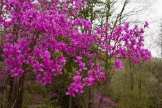 Rhododendron reticulatum