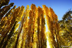 Poplar Trees in early Autumn (Golden Gate Highlands National Park, Free State Province, South Africa).