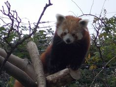 photo of a red panda i took at the welsh mountain zoo
