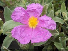 Cistus albidus.  Arbuste à grande valeur ornementale, au feuillage persistant d'un beau gris duveteux. Fleur rose-lilas. Il est attrayant pour les hyménoptères. Il a une croissance rapide.    Origine : Ouest du bassin méditerranéen. Vit en maquis, jusqu'à 1400 m d'altitude.